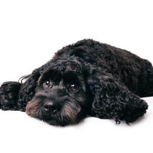 dog-groomer-reading-spaniel